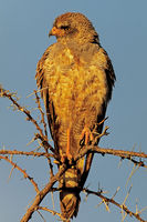 Immature pale chanting goshawk (Melierax canorus)