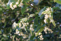 White linden Tilia cordata flowers on tree branches, green leaves background, closeup detail