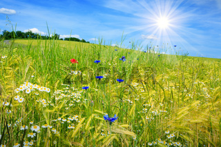 Summer field and blue sky with light clouds and sun.