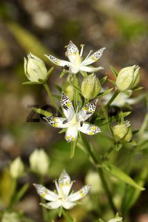 Swertia bimaculata, Swertie