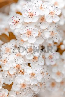 Midland hawthorn white flowering tree