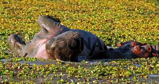 Wälzendes Hippo im South Luangwa Nationalpark, Sambia; Hippo at South Luangwa, Zambia