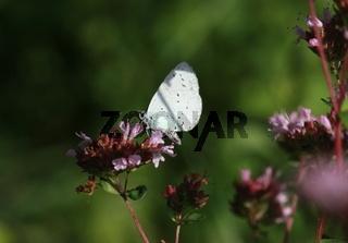 Schmetterling, Bläuling, auf Origano