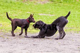 Spielende Hunde, Deutsch Drahthaar und Kelpie-Welpe - Spielaufforderung