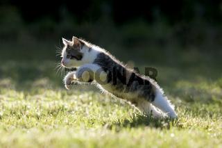 Katze, Kaetzchen rennend, auf Wiese, im Gegenlicht , Cat, kitten running on a meadow in the back-light