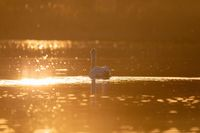 Wild bird mute swan in spring on evening pond