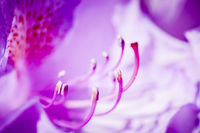 Macro of rhododendron blossom