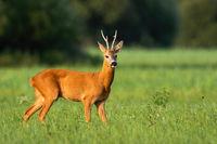 Roe deer standing on green field in summer sunlight