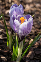 Crocus, flowers of the spring