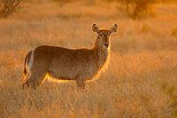 Backlit female waterbuck antelope (Kobus ellipsiprymnus)