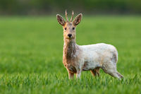 Albino roe deer buck staring into camera and standing in green grass on a field