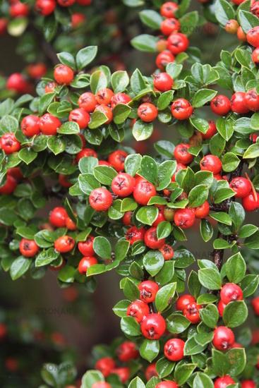 Zwergmispel, rote Beeren