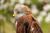 A head of a Red kite, bird of prey portrait,. In side view, yellow eye and beak. White blossom in the background