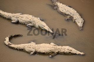 Krokdile am Rio Tarcoles in Costa Rica