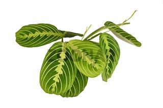 'Maranta Leuconeura Lemon Lime' Zimmerpflanze