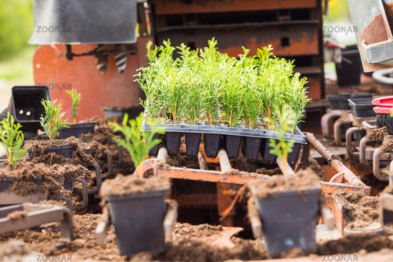 Modern automated process of planting white cedar seedlings