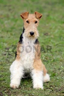 Fox Terrier Wire in the autumn garden