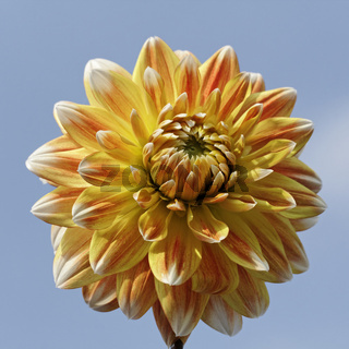 Dahlia 'Peaches and Cream', Dekorative Dahlie