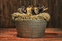Brown and brindle Jack Russell puppies 6 weeks old on a rug in an iron tub. Tail up, wooden floor and brown wooden background. Animal themes, Selective focus, Blur