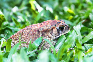 Ferguson's toad (Bufo fergusonii) in past Schneider's (dwarf) toad (Duttaphrynus