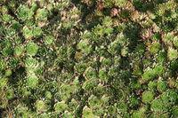 Sempervivum tectorum, Echte Hauswurz, common houseleek