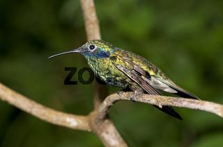 Veilchenohr-Kolibri