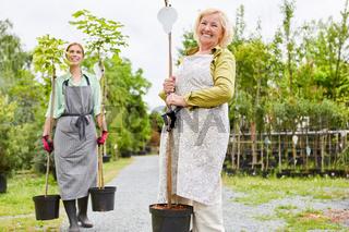 Zwei Gärtner Frauen tragen Kugelahorn zum Umpflanzen