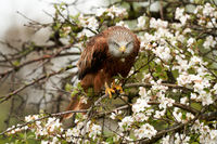 Red kite, sits on a fruit tree with white blossom. A lake in the background. Bird of prey looks straight into the camera