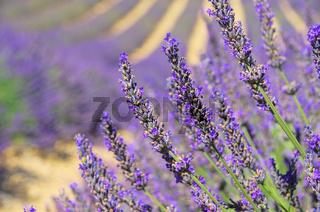 Lavendelfeld - lavender field 07