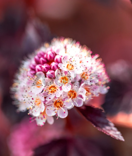 Close-up of of Physocarpus opulifolius plant and flower