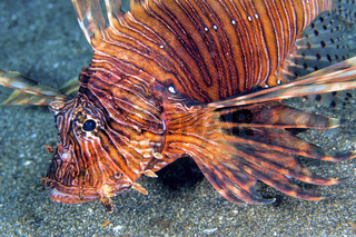 Clearfin Lionfish, Lembeh, North Sulawesi, Indonesia
