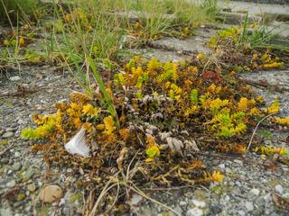 Honckenya peploides Salzmiere overview