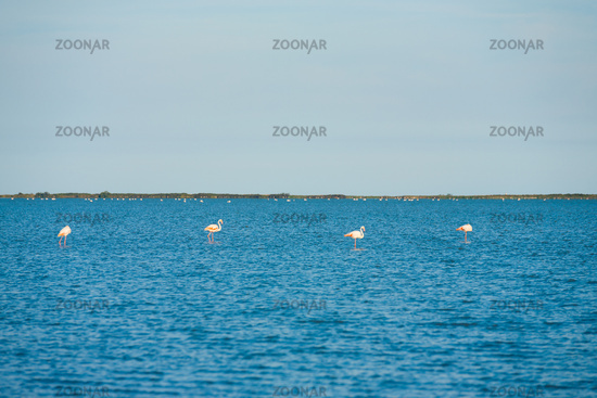Four Flamingos Nesting Camargue