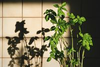 Fresh basil plant in vintage kitchen with tiles sunlit with shadows