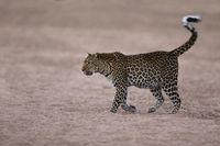 Leopard im Flussbett, South Luangwa NP, Sambia