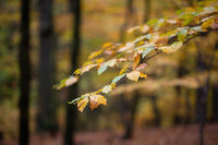 Colorful leaves hanging on tree in autumn nature focused