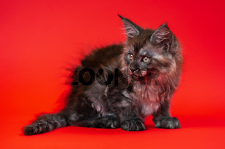 Little kitty of Maine Shag of color black smoke with big shiny eyes sitting on red background