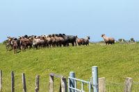 Schafe 002. Geltinger Bucht. Deutschland