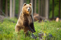 Brown bear standing upright in forest in summer sun