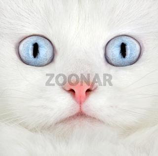 Portrait of a white kitten