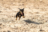 Jack Russell Terrier runs on yellow sand. The young brown black dog is playing and having fun. Seen from the front during the jump, with shadow