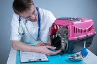 Tabby cute cat Scottish Straight breed on visit to vet doctor at animal hospital. Happy european veterinarian with clipboard in clinic next to pet carrier at examination table. Veterinary practice