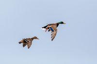 Female and male of Mallard Duck Flying