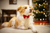 Lying border collie with a bow tie around his neck. Lying dog in front of a Christmas tree