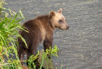 Brown bear cub in river