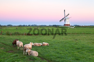 sheep on pasture and windmill at sunrise