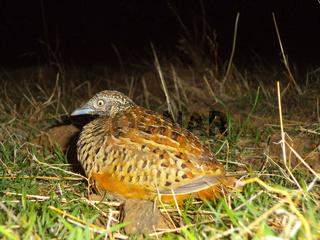 Bush quail, Perdicula Argoondah, Satara, Maharashtra, India