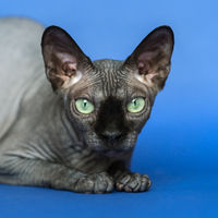Canadian Sphynx cat. Close-up portrait of cat on blue background