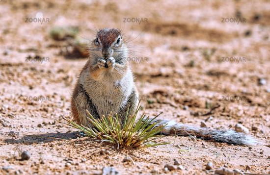Erdhoernchen, Kgalagadi-Transfrontier-Nationalpark, Südafrika, (Xerus inauris)   Ground squirrel, Kgalagadi Transfrontier National Park, South Africa, (Xerus inauris)