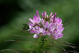 blühende pinke Spinnenblume